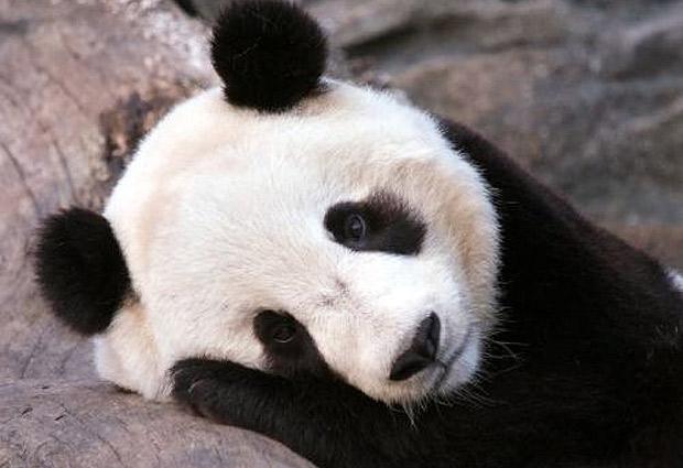 Imagenes animales Panda