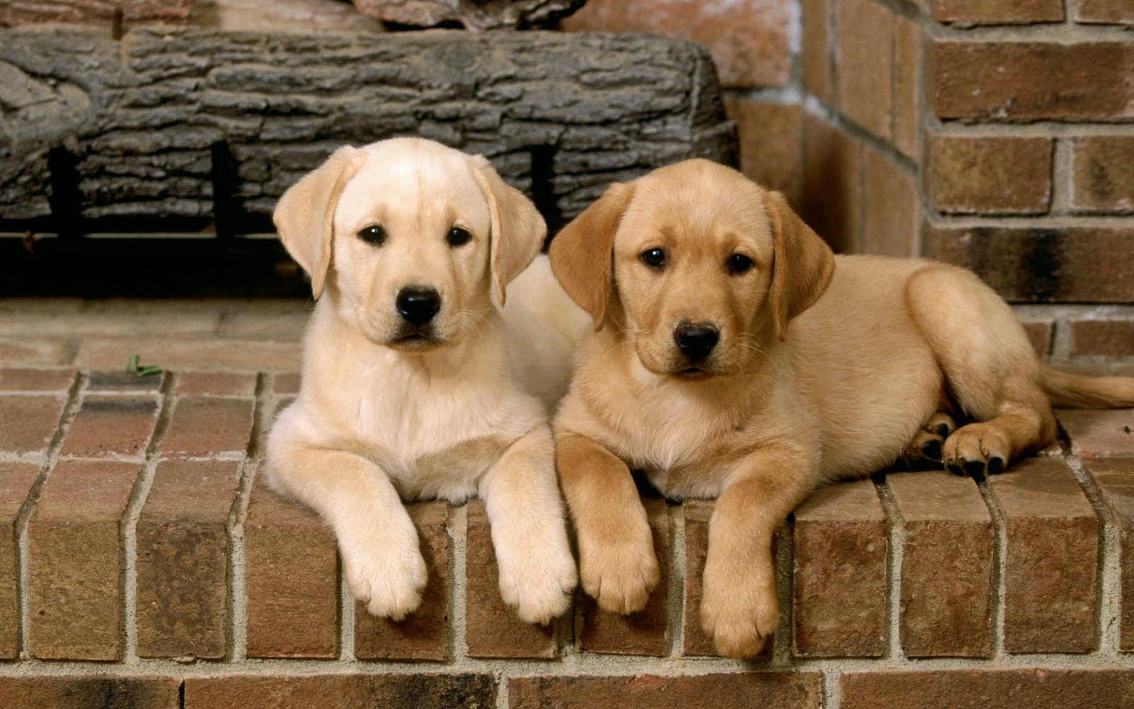 Imagenes de perritos labradores