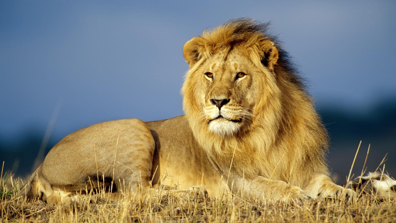 Imagenes leones
